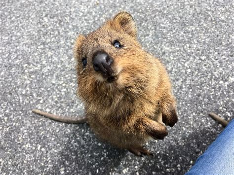 Celebrating The World's Cutest Marsupial: A Quokka Photo ...