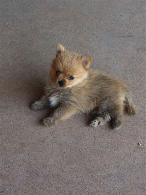 pomeranian mix yorkie yorkie pom mix breeds picture