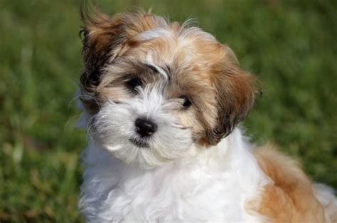terrier havanese the differences between a havanese a tibetan terrier care daily puppy