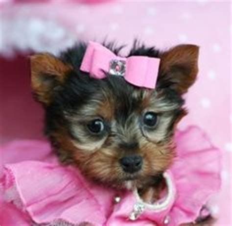 yorkie bows for sale mini yorkie puppies for sale mini terrier puppies for sale slika