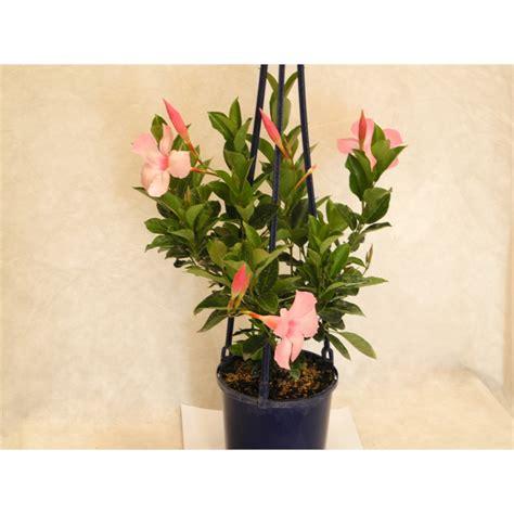 Mandevilla Pink 1 plant mandevilla mini pink 1 5l bunnings warehouse