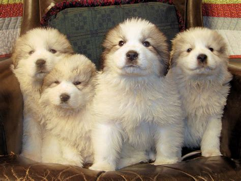 grand pyrenees pin newfoundland great pyrenees mix puppies on