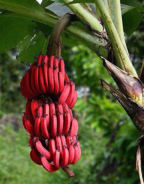 La Bananais Pisang Sale 39 frutti esotici lepiantedafrutto it