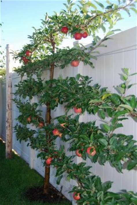 fruit trees can be contained by growing espaliered like this peach tree ideal for a small