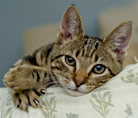 declawed cat images
