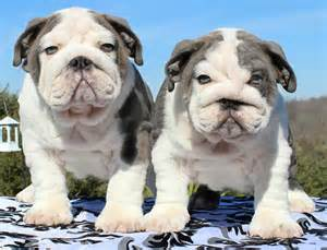 Miniature english bulldogs apps directories