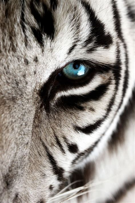 printable tiger eyes 20 best ideas about tigers on pinterest big tiger cute