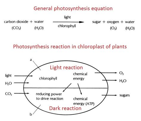 Where Do The Light Independent Reactions Of Photosynthesis Occur by Photosynthesis Cycle Equation