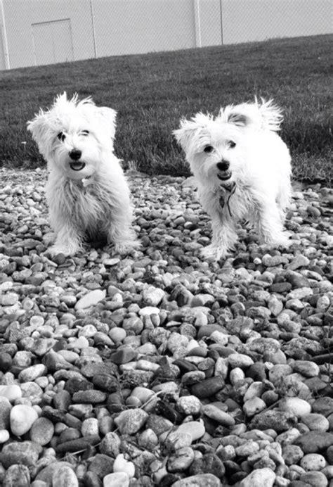 mauzer puppies mauzer maltese miniature schnauzer info temperament puppies pictures