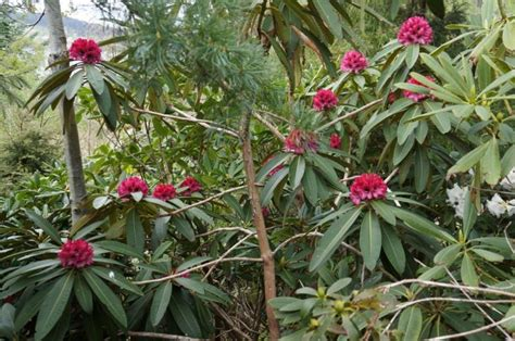 rhododendron 2013 forum topic north american rock