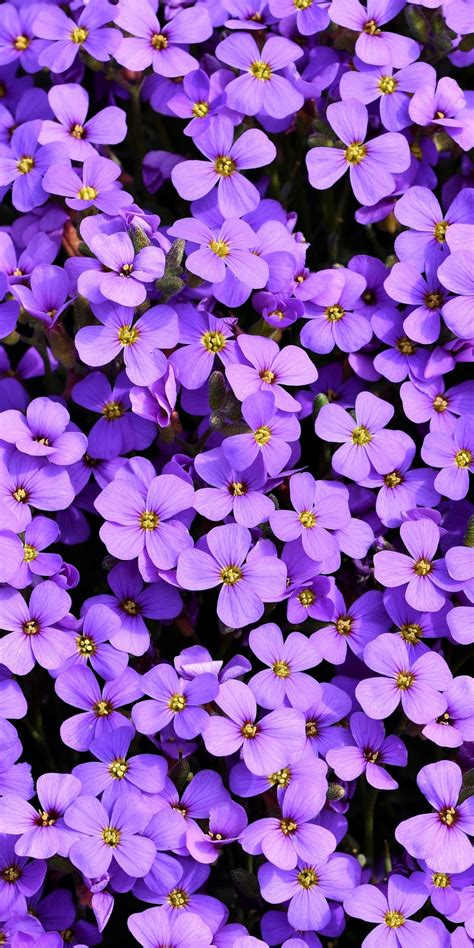 aubrieta  wallpaper violet flowers blossom spring