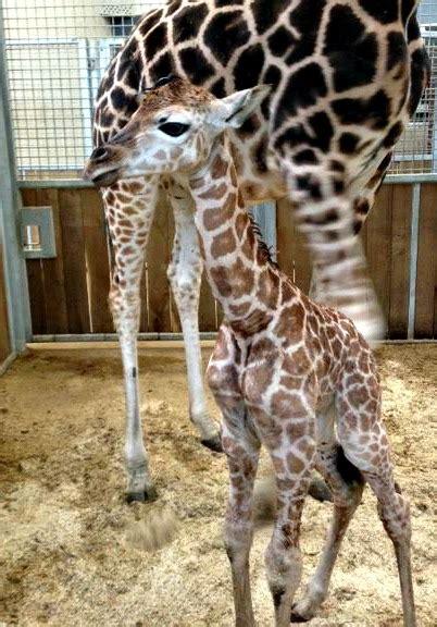 baby giraffe  standing tall  burgers zoo zooborns