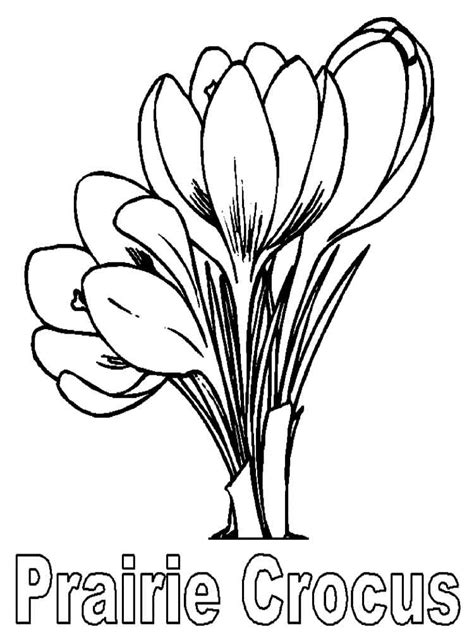 crocus flower coloring page crocus flower coloring pages 10 crocus flower coloring page