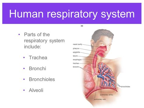 respiratory system gas exchange ppt video online download respiratory system gas exchange ppt video online download