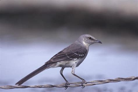 northern mockingbird mimus polyglottos natureworks
