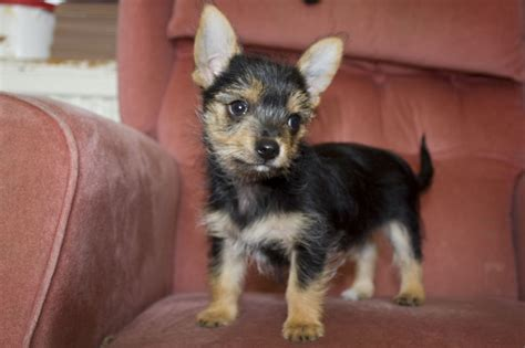 chorkie puppies for sale 2 fully vaccinated chorkie puppies for sale whitstable kent pets4homes