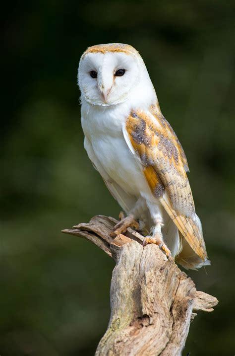 barn owl tattoo a beautiful barn owl title owl by davies on