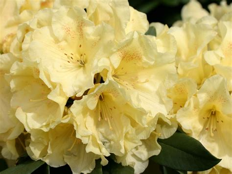 Rhododendron Flachwurzler by Rhododendron Goldinetta 174 Rhododendron Hybride