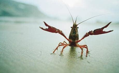 Sleeping With The Crawfish anxious crayfish and sociable spiders does your