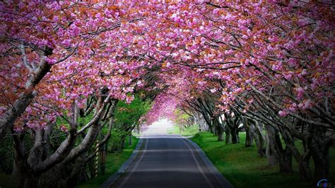 download wallpaper alley of cherry blossoms 1600 x 900