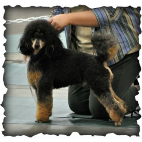 yorkie rescue vancouver bc poodle puppies for sale columbia miniature poodle