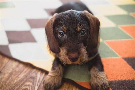 wire haired dachshund puppy wirehair dachshund puppy doxie