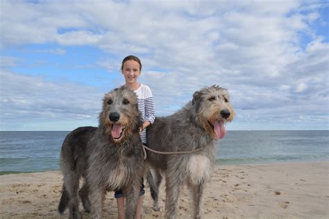 5 Things to Know About Irish Wolfhounds   Petful