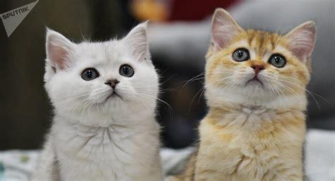 gatos en casa el verdadero peligro de tener gatos en casa sputnik mundo