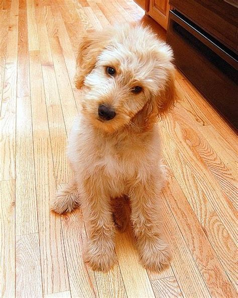 goldendoodle puppy not 51 best ideas about golden doodles on poodles