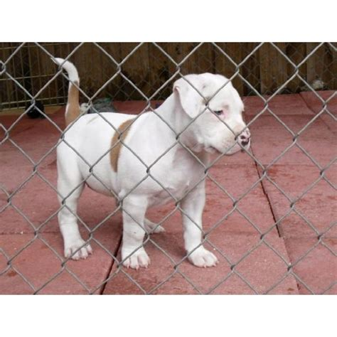 brown and white pitbull puppy pin brown and white pitbull puppies on