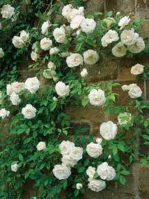 25 best ideas about climbing roses on pinterest climbing flowers roses and flowers garden