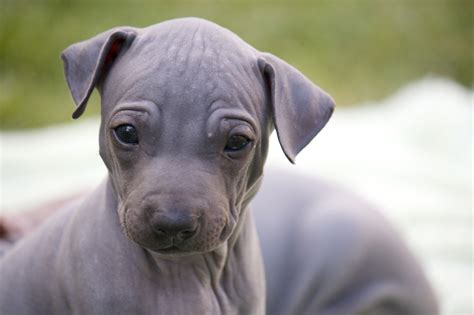 american terrier puppy american hairless terrier breed guide learn about the american hairless terrier