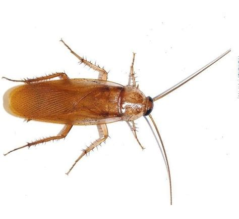 Bed Bugs In Ohio Cockroach Pest Control Phoenix Metro Area