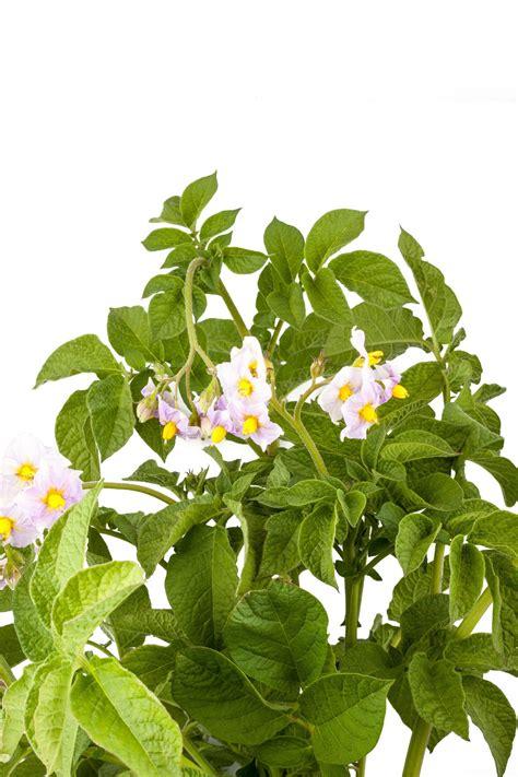 coltivare in vaso come coltivare le patate in vaso non sprecare