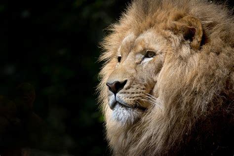 hd image  animal black hd lion digital