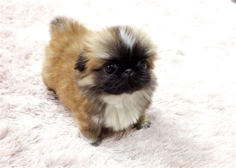 pekingese puppies for free baby trey micro tea cup pekingese puppy puppies new babies