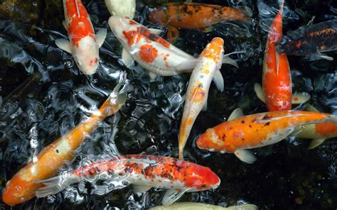 Koi Live Wallpaper For Windows 7 | koi fish desktop koi free live wallpaper for windows 7