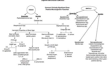 microbiology flowchart gram positive microorganism flow chart microbiology