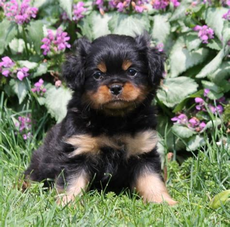mini rottweiler puppies for sale adorable mini rottweiler puppies craigspets