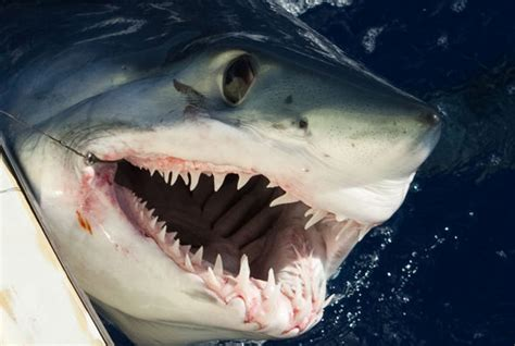 watch terrifying moment a shark attacks fishing boat to