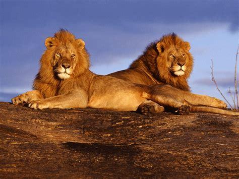 imagenes full hd de leones leones hd fondoswiki com