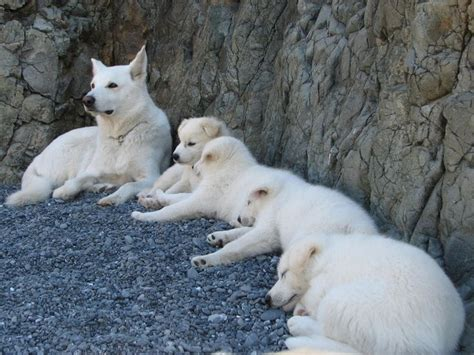 arctic wolf puppies wolf hybrid pups sire is white arctic wolf mixed with white german shepard and