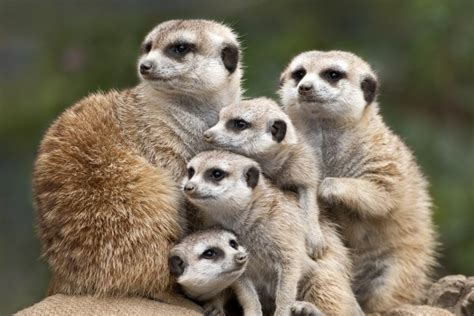 kekoa the misunderstood mongoose books meerkat facts 20 amazing facts about meerkats