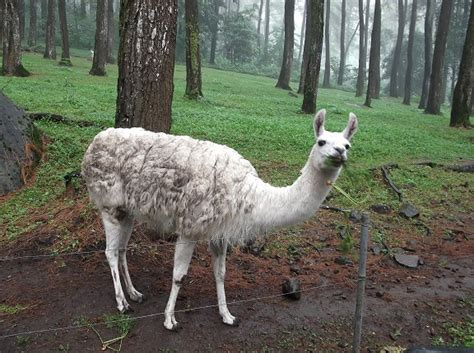 Boneka Kancil By Sion Toys gambar mengenal alpaca hewan unik asli amerika selatan
