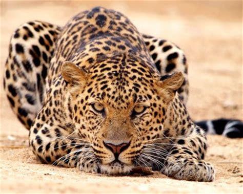 s leopard leopards leopard safari in kenya