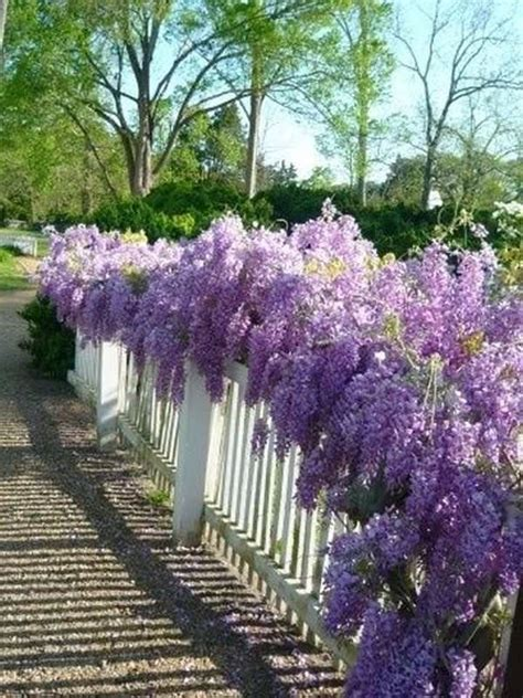 growing wisteria in a pot all the tips and tricks you need to know wisteria gardens and