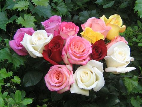 beautiful color roses wallpaper 18577527 fanpop