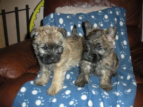 cairn terrier puppies for sale cairn terrier puppies for sale oswestry shropshire pets4homes