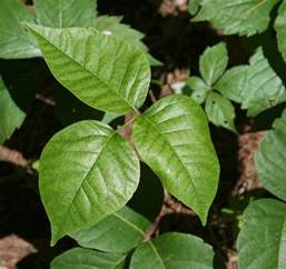 bug of the month poison ivy oak or sumac pediatrics now