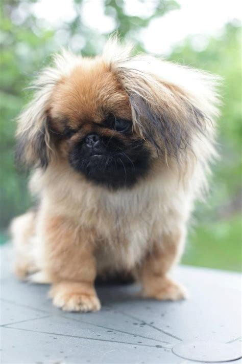 pictures of pekingese dogs 17 best ideas about pekingese dogs on